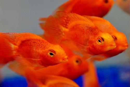 kraujo, raudona, Parrot, papoušková, žuvis, akvariumas, Tropical, gėlo vandens, Didelės lūpos, lūpos, kančík