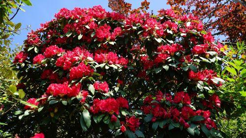 žydėti,raudona,žalias,žydi,natūralus,sezonas,gėlė,gėlių,žiedas,lauke,vasara,žiedlapis,budas,gyvas,gamta,lapija