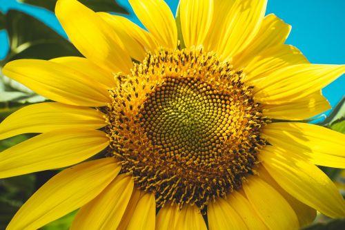žydėti,žydi,žiedas,šviesus,Iš arti,spalva,flora,gėlė,makro,žiedlapiai,žiedadulkės,saulėgrąžos,gyvas,geltona