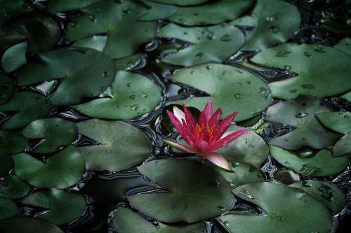 žydėti,žiedas,flora,gėlė,lapai,gamta,tvenkinys,vanduo,vandens lelija
