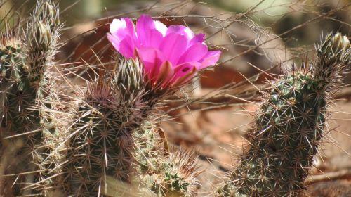 sedona, kaktusas, dykuma, žydintis kaktusas