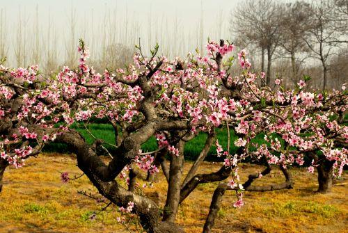 gėlės, medis, žydi, žydi, persikas & nbsp, žydėti, pavasaris, sezonai, pasėlių, maistas, vaisiai, žydi persikų medis