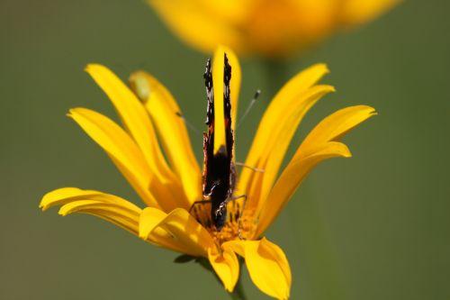 žiedas,žydėti,gamta,gėlė,pavasaris,geltona,drugelis
