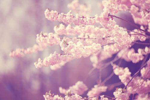 žiedas,žydėti,pavasaris,budas,gamta,augalas,gėlės,rožinis,medis,flora,filialas,žydėti,pilnai žydėti