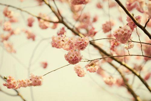 žiedas,žydėti,krūmas,rožinis,gėlė,žydėti,pavasaris,gamta,augalas,medis