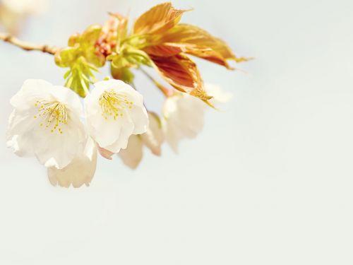 žiedas,žydėti,gėlė,augalas,pavasaris,balta,krūmas,filialas,medis,kopijuoti erdvę,pastelė,budas,Velykos
