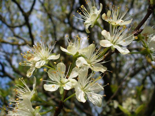 žiedas,pavasaris,gamta,medis,botanika