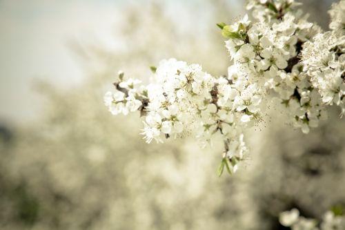 žiedas,žydėti,medis,žiedas,gamta,pavasaris,augalas,Uždaryti,obuolių žiedas,balta