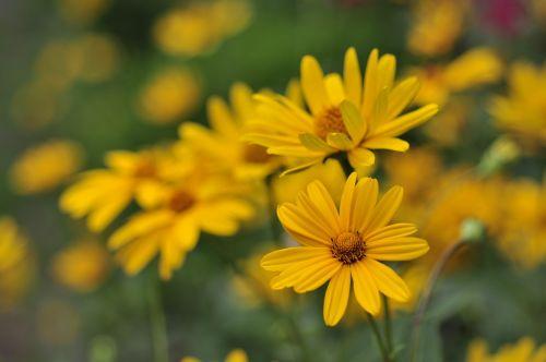 žiedas,žydėti,saulės gėlė,geltona,heliopsis helianthoides,skabra,Venus,saulės akis,sodas,vasara,gėlė,vasaros gėlė,augalas