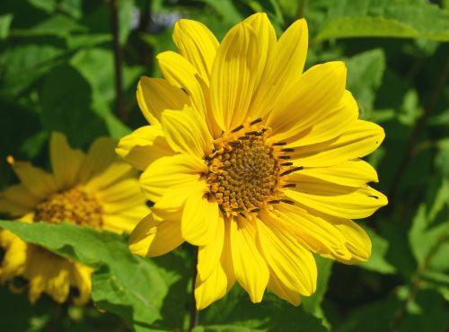 žiedas,žydėti,geltona,kompozitai,asteraceae,gamta,vasara,gėlė,Uždaryti,makro
