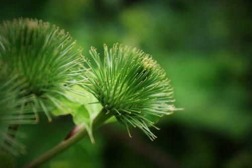 žiedas,žydėti,išblukęs,pflsnze,augalas,gėlė,makro,gamta,ruduo,nudrus,paskutinė sėkla,aštraus gėlė,vasaros pieva,skilimas,nudrus,trumpalaikis,gėlių ruduo