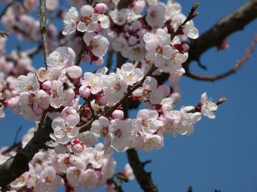 žiedas,žydėti,vyšnių žiedas,filialas,pavasaris,medis,balta,vyšnia,vaismedis,rožinė vyšnios žiedas