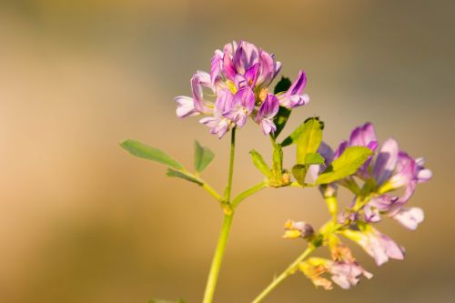 žiedas,žydėti,violetinė,rožinis,purpurinė gėlė,gamta,gėlė,laukinė gėlė,augalas,Uždaryti,gėlė violetinė,violetinė gamta,maža gėlė,filigranas,žalias