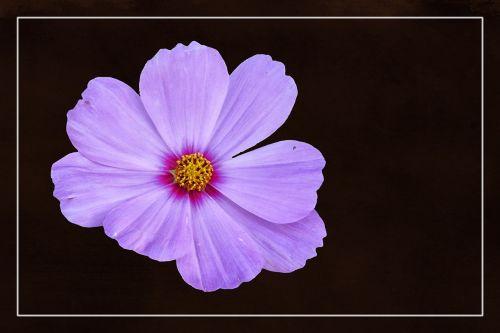 žiedas,žydėti,cosmea,augalas,rožinis,flora,farbenpracht