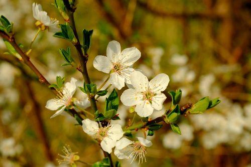 žiedas,žydėti,pavasaris,gamta,Uždaryti,obuolys,žydėti,medis,filialas,budas,balta,augalas,sodas,klestėjo,žinoma,gražus,vaismedžių žydėjimas,mažas,žydėti žydi,makro
