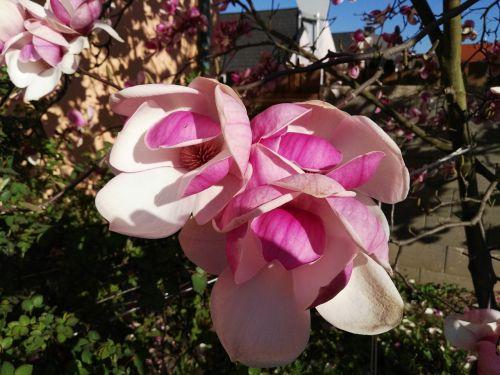 žiedas,žydėti,pavasaris,magnolija,rožinis,Uždaryti,gamta,pilnai žydėti