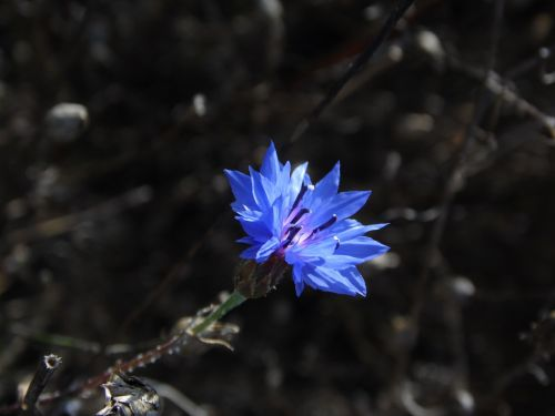 žiedas,žydėti,sodas,flora,Dalia,augalas,gėlė,mėlynas,lauko gėlė,mėlyna gėlė,Uždaryti,gamta,mėlynos gėlės,spalva,kvepianti gėlė,spalvota gėlė
