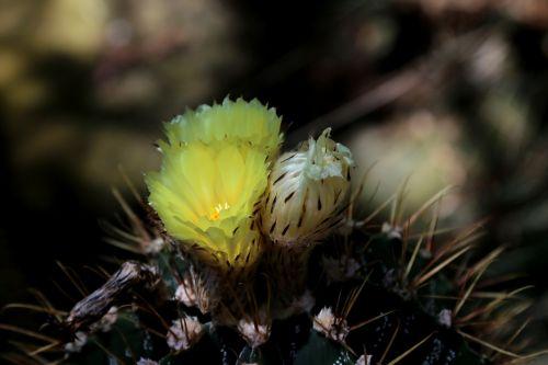žiedas,žydėti,gėlė,makro,kaktusas,kaktusinė gėlė,dygliuotas,viešas įrašas