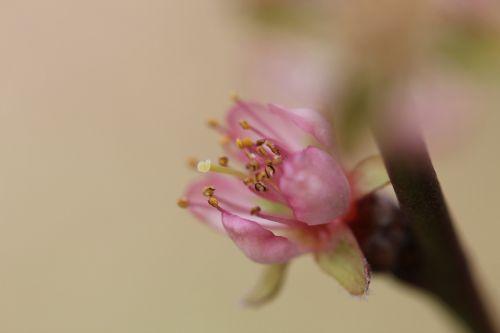 žiedas,žydėti,sodas,persikas,japanese,medis,japonų vyšnios,japonų vyšnių žiedai,japonų žydinčių vyšnių,ornamentinis vyšnia,vyšnių žiedas