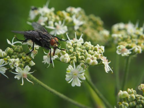 žiedas,žydėti,skristi,vabzdys,gamta,vasara,gėlė,skrydžio vabzdys,balta