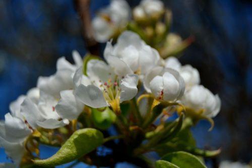 žiedas,vyšnia,žiedų vyšnios,medžių žiedai,balti žiedai,gėlės,sodas,augalai