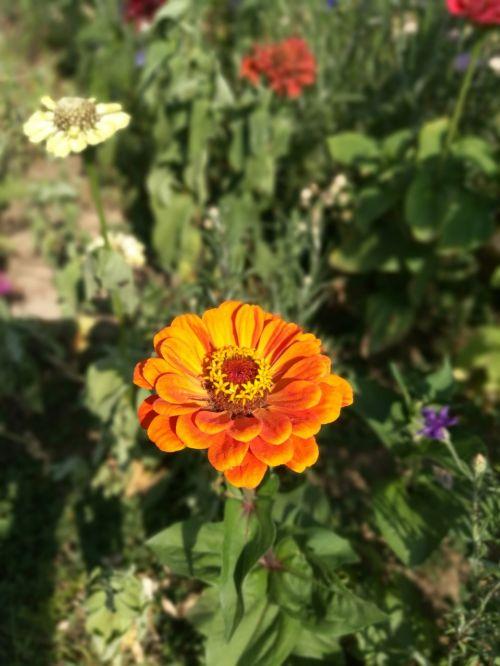 žiedas,žydėti,auksinis,oranžinė,auksas,geltona,gėlė,gamta,rožė,augalas,vasara,gražus,kilnus,žiedadulkės,sodas