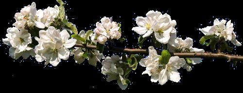 žiedas,žydėti,pavasaris,balta,augalas,žiedas,gamta,izoliuotas,gražus,subtilus,žydėjimo šakelė,medis,filialas,vaismedis,Uždaryti,žydėti,žydėti arti,gėlės,sodas