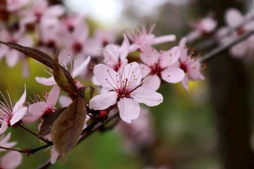 žiedas, žydi, vyšnių žiedas, medis, gėlė, pobūdį, augalų, vyšnios medienos, pavasaris, Sodas, žydi, sezonas, žiedas, Iš arti, rožinis, žiedlapiai, švelnus