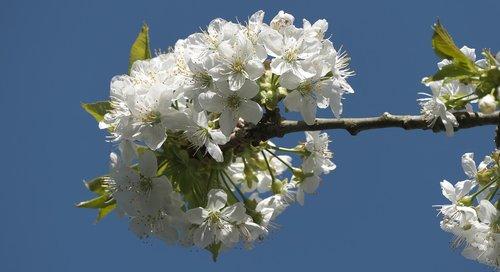 žiedas, žydi, mėlynas dangus, vyšnios medis, vyšnių žiedas, pavasaris, baltos gėlės, žiedas, suklestėjimas, balta spindesys, spyruokliniai žiedai, medis, filialas