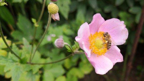 žiedas, žydi, medaus BITĖ, žiedadulkės, pabarstyti, Iš arti, nektaro, apdulkinimas, vasara, bitininkystė, bičių, augalų, gėlė, sodas