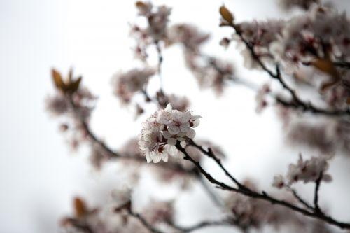 filialas, budas, kortelė, vyšnia, gėlė, Laisvas, sodas, švelnus, žalias, žiedynas, lapai, daug, daug, daug, gamta, parkas, žiedlapis, nuotraukos, rožinis, atvirukas, raudona, romantiškas, pavasaris, vasara, švelnus, medis, žiedų gėlės filiale