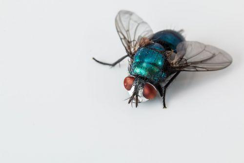 blowfly,mėlynas baltas skristi,vabzdys,kenkėjas,klaida,negraži,smūgis,sparnuotas,Bluebottle,greenbottle,kaligrafos,kiaulaitė,klasterinis skristi,bruto,nemalonumas