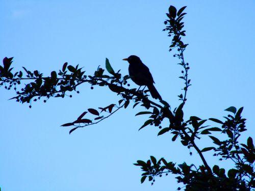 mėlynas,dangus,paukštis,filialas,juoda paukštis,gamta,sąskaitą,giesmininkas,medis,paukštis filiale,juoda,gyvūnai,plunksna,siluetas,juoda paukštis,atmosfera