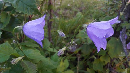 mėlynas varpas,mėlyni varpeliai,mėlynas,gėlės,vasara,augalai,sodas,lauke,Švedijos vasara,Švedijos,lapai,vasaros gėlės,gėlė,žalias,Iš arti,Švedija,augalas,žydėjimas,gražus,graži gėlė,žaluma,vasaros gėlė
