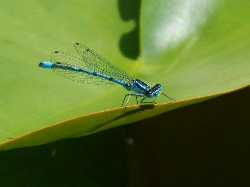 lazda,mėlynas,vabzdys,laukinės gamtos fotografija,skrydžio vabzdys,gamta
