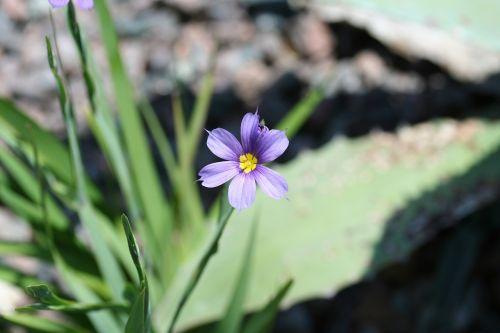 mėlynakiai žolė,sisyrinchium angustifolium,arba sisyrinchium biforme,siauras lapinis mėlynakis žolė,ar ryškia mėlynakiai žolė,mėlynas,violetinė,geltona,žalias,wildflower,bermudai,gėlė,makro