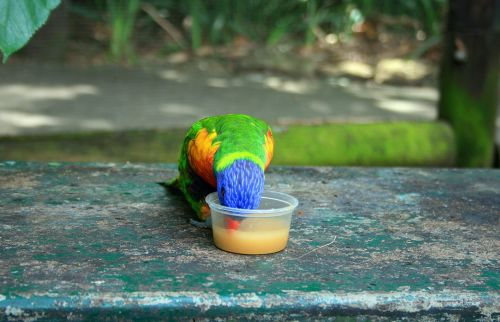 paukštis, spalvinga, nektaras, dubuo, maitinimas, mėlynas ledinis lorikeetas, sipping nektaras