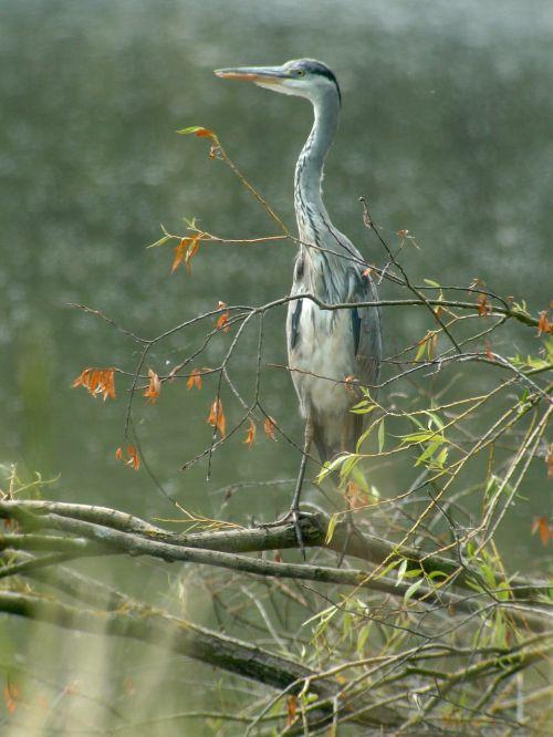 mėlyna giraitė,paukščiai,gamta