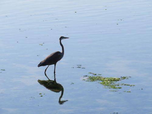 mėlyna giraitė,vanduo,atspindys,tvenkinys,paukštis,fauna,vaikščioti
