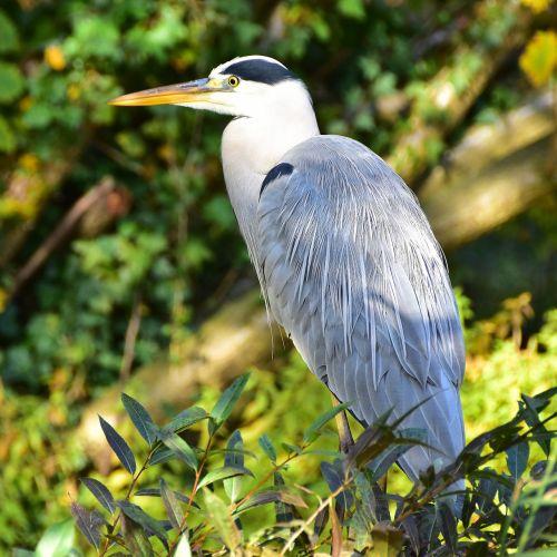 mėlyna giraitė,paukštis,gamta