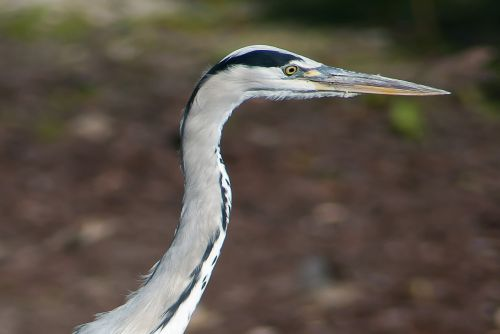 mėlyna giraitė,gyvūnas,paukštis,heronas,babu,gamta,snapas
