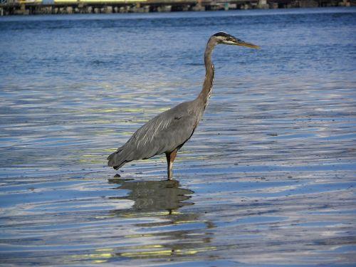 mėlyna giraitė,paukštis,heronas,gyvūnas,stovintis,vanduo