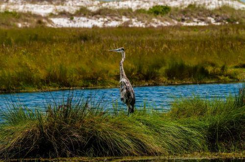mėlynas, heronas, Everglades, mėlyna giraitė amžinose vietose
