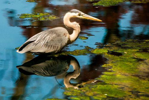 vanduo, tvenkinys, paukštis, heronas, gamta, mėlyna giraitė vandenyje