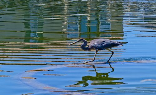 mėlyna & nbsp, heronė, paukštis, žvejyba, heronas, vanduo, stovintis, laukimas, ežere stovi mėlyna giraitė