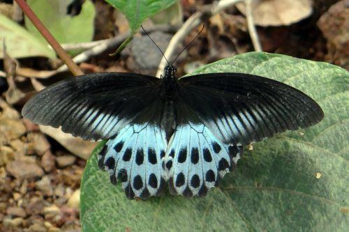 Mėlynas Mormonas, Papilio Polymnestor, Didelis, Swallowtail Drugelis, Pietų Indija, Piliakalnis, Vakarų Gatas, Indija