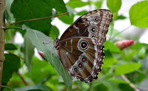 mėlyna morphofalter, drugelis, vabzdys, Iš arti, eyespots