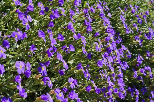 mėlyna pagalvė, gėlės, žydėti, blütenmeer, mėlynas, pavasaris, akmens sodas, violetinė, pagalvių augalas, gėlė, violetinė, dekoratyviniai augalai, kryžmažiški augalai, gražus, sodas, Uždaryti, sodo mėlynos pagalvėlės, struktūra, tekstūra, fonas, kryptis