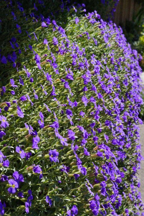 mėlyna pagalvė, gėlės, žydėti, blütenmeer, mėlynas, pavasaris, akmens sodas, violetinė, pagalvių augalas, gėlė, violetinė, dekoratyviniai augalai, kryžmažiški augalai, gražus, sodas, Uždaryti, sodo mėlynos pagalvėlės, struktūra