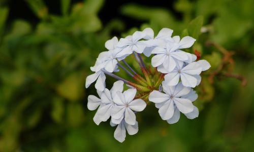 mėlynas plumbago,gėlės,pavasaris,gėlių,žiedas,žydėti,augalas,natūralus,flora,vasara,šviežias,žiedlapis,laukas,botanika,stiebas,žydi,pieva,gyvas,gyvas,aromatas,budas,subtilus,egzotiškas,sodininkystė,kvapas,elegancija,trapumas,aromatingas,žiedadulkės,botanikos,kvepalai,augimas,aplinka,elegantiškas,ekologija,eco,bio,ekologiškas,gyvenimas,ekologiškas,ekosistemos,ekologinis